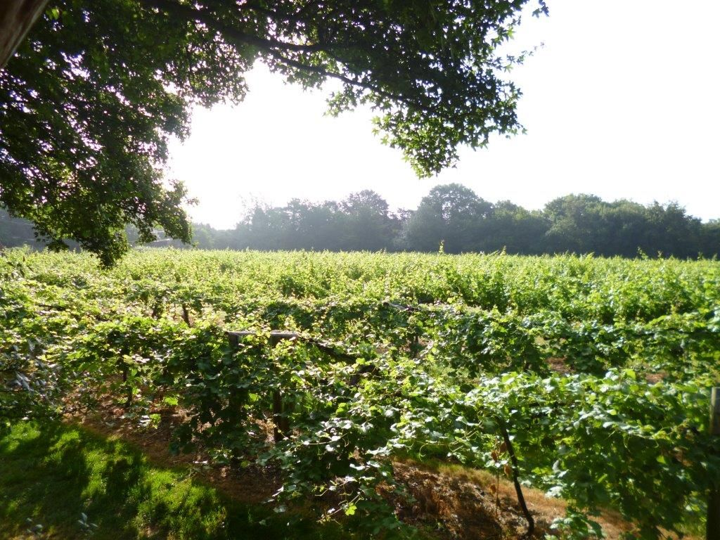 Fawley vineyard, Oxfordshire, England © Wendy Sargent